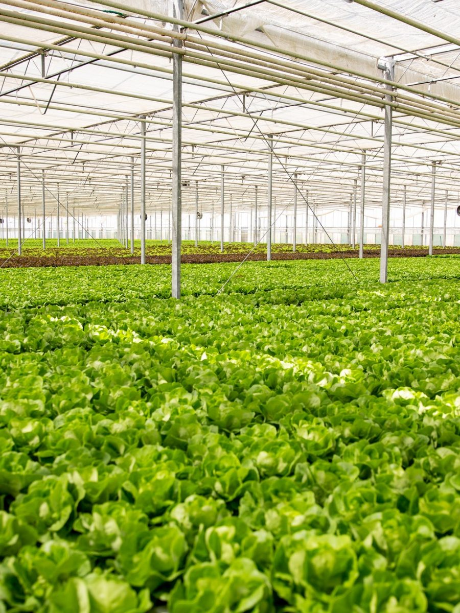Organic green salad in a greenhouse with modern technology